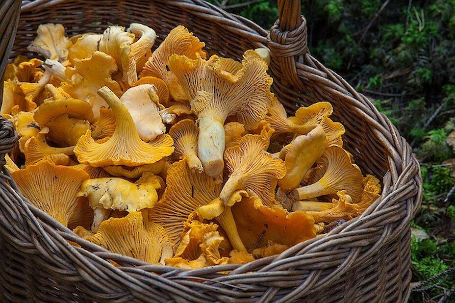 Правила грибників: як не отруїтися